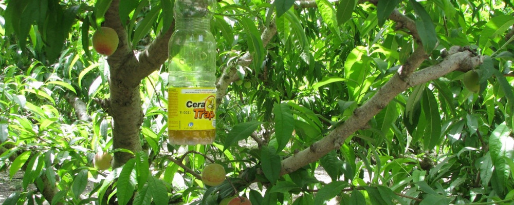 CERA TRAP®: a bioprotection solution for the control of fruit flies.